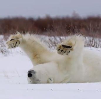 Polar Bear Stretching