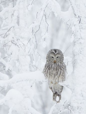 Ural Owl (Stix Uralensis) Resting in Snowy Tree, Kuusamo, Finland Photographic Print by Markus Varesvuo