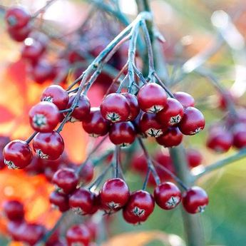 The Best Berry Plants for Birds
