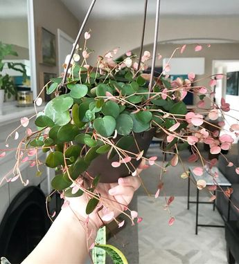 I can't believe how quickly this Peperomia Ruby Cascade has grown. It's a very fast grower! Sending everyone happy Plant vibes