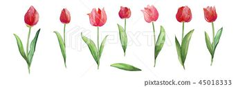 튤립, 붉은 꽃, 싱그러운 꽃입니다