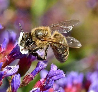 Bee On Purple Statice IIi by Linda Brody