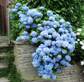 These hydrangeas are delicious!  I am vowing to get mine to bloom this year!