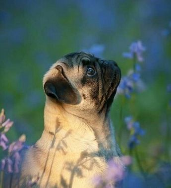 aww thid pug is adorable...what are u looking at...??