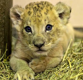 Lion Cub Shares Father's Day Debut With Dad