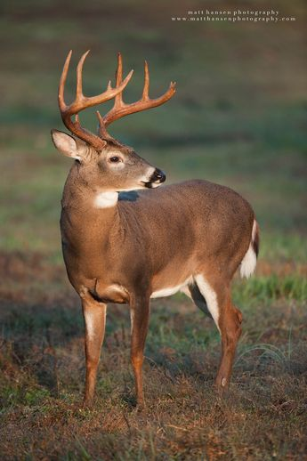 White-tailed deer (Odocoileus virginianus) - Professional Whitetail Deer Photography | Matt Hansen