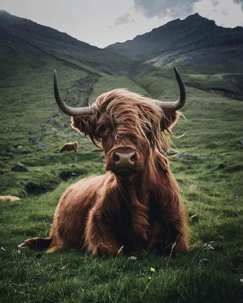This cow is more fabulous than any of us