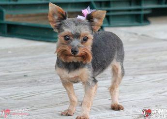 Yorkie Puppy Yorkshire Terrier Chicago Yorkie Chicago Yo