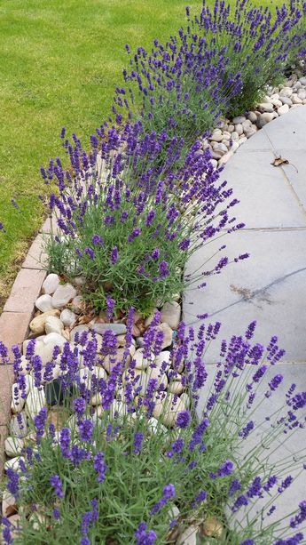my garden - lavender in full bloom