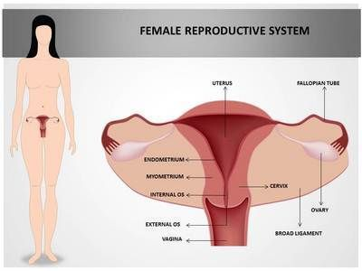 Free powerpoint presentations about human reproductive system for.