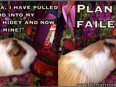 Share Anything Guinea Pig Here