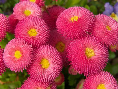 Flowers: English Daisies