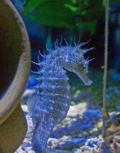 Seahorse~~