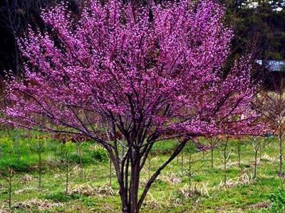 Cultivar Choices Redbud On Pinterest Pansies Leaves And