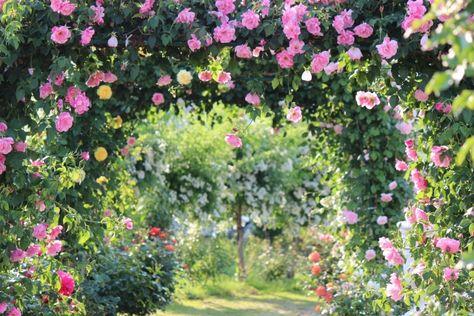 日陰・半日陰 日当たりが良くなくても咲くバラ26種まとめ | 50代美肌コスメ健康美人になる方法