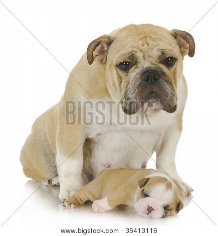 Mother Dog And Three Week Old Puppy English Bulldog Poster In