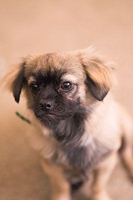 Sacramento Ca Puppy Pug Meet Peke A Dog For Adoption