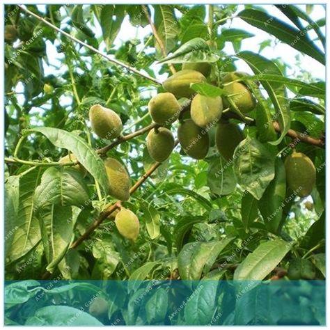 ZLKING High Quality 1pcs Almonds Badam Nut Rare Outdoor Fruit Tree Plant For Home Garden Review