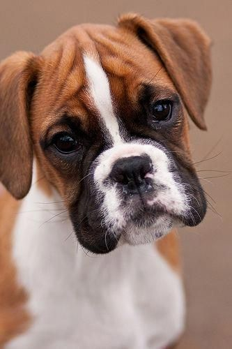 Playful Boxer Dog Do You Love Cute Dogs Like This Follow Our