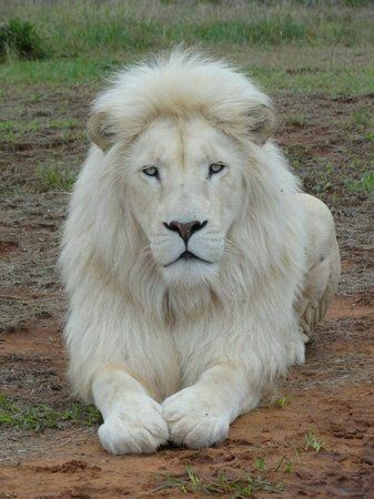 Mustafa, A Rare White Lion In South Africa, Is In Danger Of Being Auctioned Off To Trophy Hunters - Katzenliebe ♥️ - Animals Lion Images, Lion Pictures, Animal Pictures, Cute Baby Animals, Animals And Pets, Funny Animals, Strange Animals, Beautiful Cats, Animals Beautiful