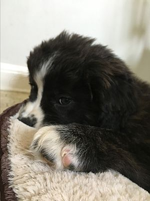 Pictures Of Maxwell A Border Collie For Adoption In Staten Island Ny Who Needs A Loving Home Border Collie Collie Pets