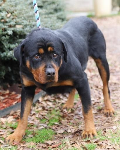 Bonnie Adoptable Dog Adult Female Rottweiler Rottweiler Dog