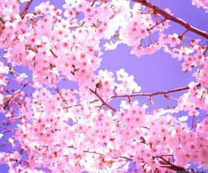 Imagem De Aesthetic Beautiful And Cherry Blossoms Cherry Blossom Wallpaper Cherry Blossom Flowers Beautiful Flowers Pictures