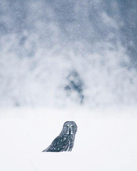 Pin By Kiddi On W I N T E R B L U E S Great Grey Owl Critter Owl