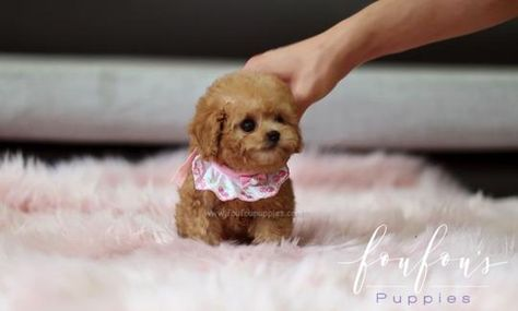 Teacup Poodles for Sale   Toy Poodle Puppies