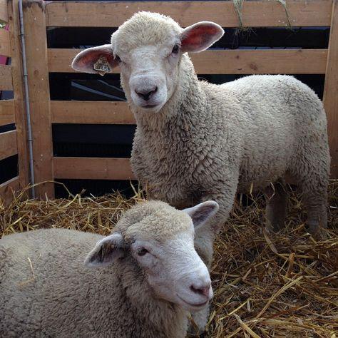Chookyblue..: EPP and naked sheep..