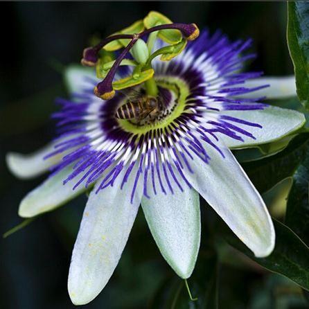 Pin On Rainforest Passiflora
