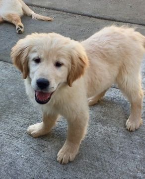 Golden Retriever Puppy For Sale In San Francisco Ca Adn 64618 On