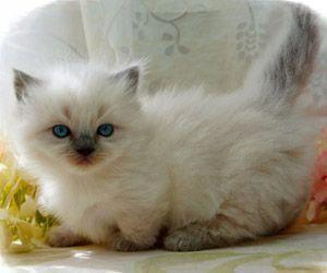 Catskill Ny Cancatscry Key 1873340532 Munchkin Kitten Munchkin Cat