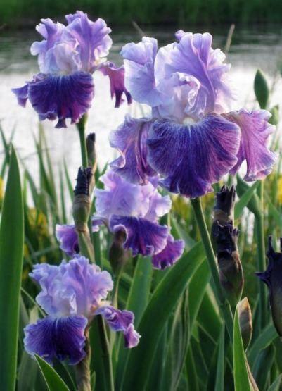 21 Trendy Flowers Beautiful Irises Iris Flowers Beautiful Flowers Garden Iris Garden