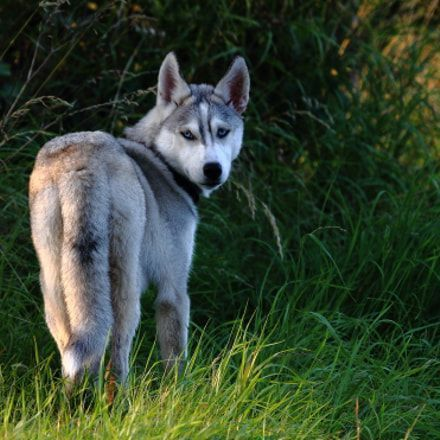 Discover The Secret To Getting Your Siberian Husky To Listen Siberian Husky Husky Siberianhusky Siberian Husky Husky Puppy Husky
