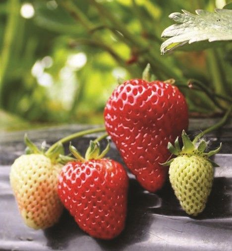 Albion Strawberry Strawberry Plants Growing Strawberries Berry Plants