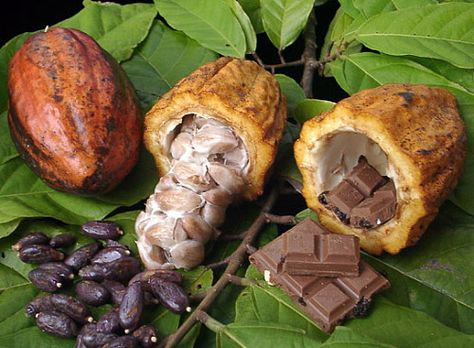Cacao seeds are the source of commercial cocoa, chocolate, and cocoa butter. This beautiful tree has large dark green leaves that shade the fruit pods which grow directly from the trunk and branches.