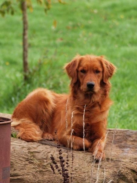 Find Out More Information On Golden Retriever Puppies Have A