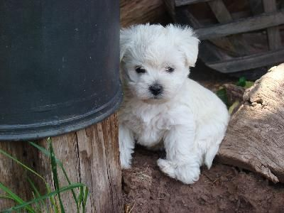 This Is A Wee Chon A Cross Between A Westie And A Bichon Willie S First Time In The Grass Westie Maltese Mix W In 2020 Bichon Frise Puppy Dog Breed