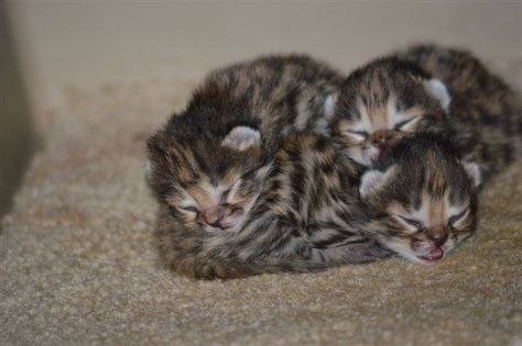 Zooborns Philly Zoo S First Ever Black Footed Cat Kittens Are Thriving Philadelphia Zoo S Female Black Footed Cat Aza Gave Birth To A Lit Black Footed Cat Cute Wild Animals Small Wild