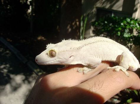 Moonglow Crested Gecko