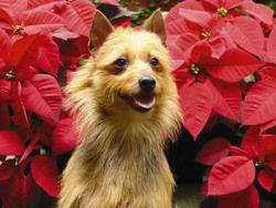 Chien Terrier australien
