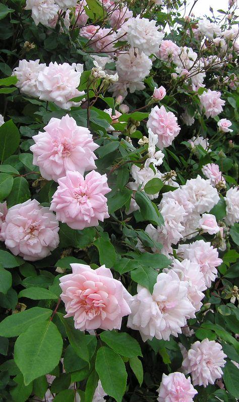 Polyantha Rose: Rosa 'Mademoiselle Cécile Brünner' AKA 'Sweetheart Rose' (France, 1880)