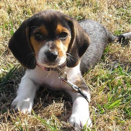 Eliminate Over 30 Common Behavioral Beagle Issues Beagle