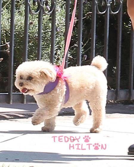 Maltipoo Maltipoo Dog Maltipoo Cool Pets