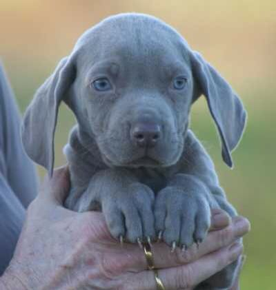 Weimaraner X American Bulldog Puppy Weimaraner Puppies Lab Mix Puppies Baby Animals