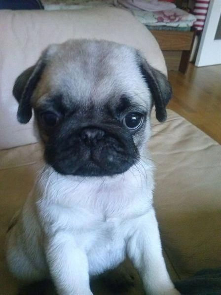 Baby Pug Dog Price In Delhi Pugs Funny