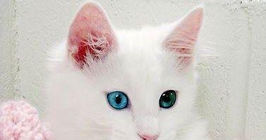 Kucing Anggora Lucu Kecil Kumpulan Gambar Kucing Anggora Cantik Dan Lucu Terbaru 2018 Download Cara Memilih Makanan K Anak Kucing Anak Kucing Lucu Kucing