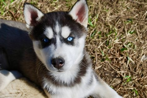Litter Of 4 Siberian Husky Puppies For Sale In Windsor Mo Adn