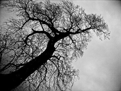 Indian bean tree silhouette